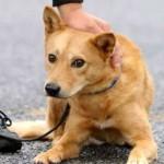 災害救助犬のレイラや夢之丞の物語が泣ける!画像や訓練も!
